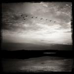 Wild Geese at Uig Sands Scotland