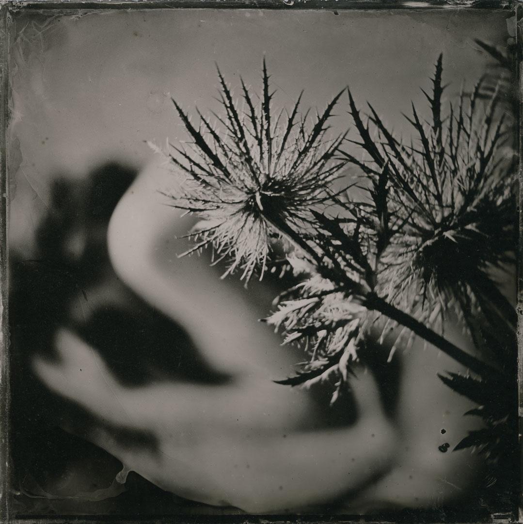 Aktfotografie Ivory Flame Remote Shoot. Nude with Thistles. Kollodium Nassplatte auf schwarzem Plexiglas. Zone VI 8x10 mit Dallmeyer Objektiv