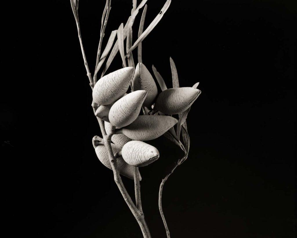 Xylomelum angustifolium. Serie Nature - Exotische Samenkapseln und Früchte - Sinar P2 8x10